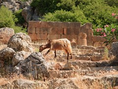 42_A-goat-grazes-on-the-steps-to-the-ruined-Asclepieion-temple-at-Lissos,-south-west-Crete,-Greece.-The-temple-wall-is-behind-the-animal.